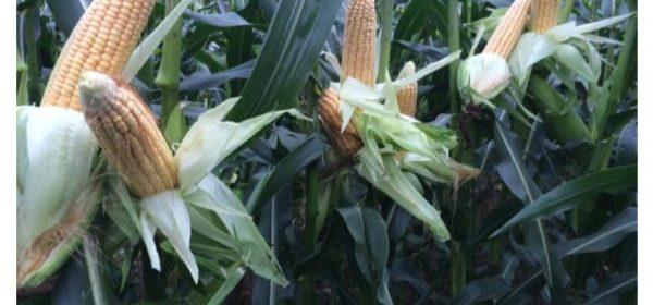 Mais im Zwischenfruchtanbau nutzen!